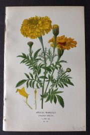 Step 1896 Antique Botanical Print. African Marigold 144